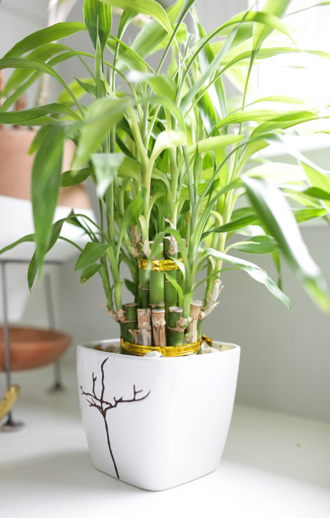 Lucky Bamboo Plant Care - Growing Tips - Paisley Plants