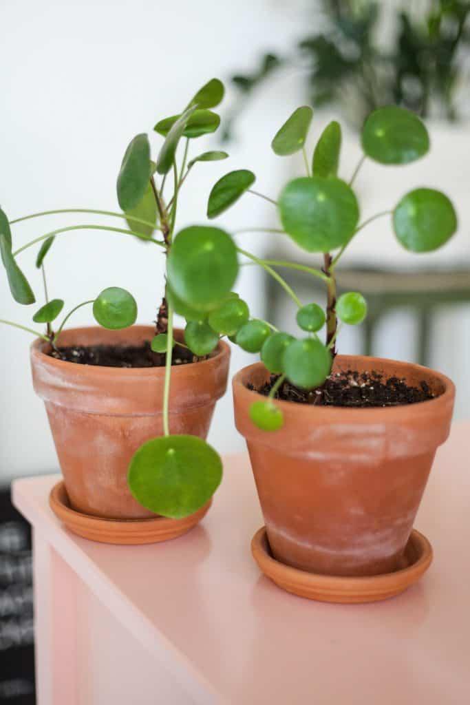 Pilea Plant Care Tips