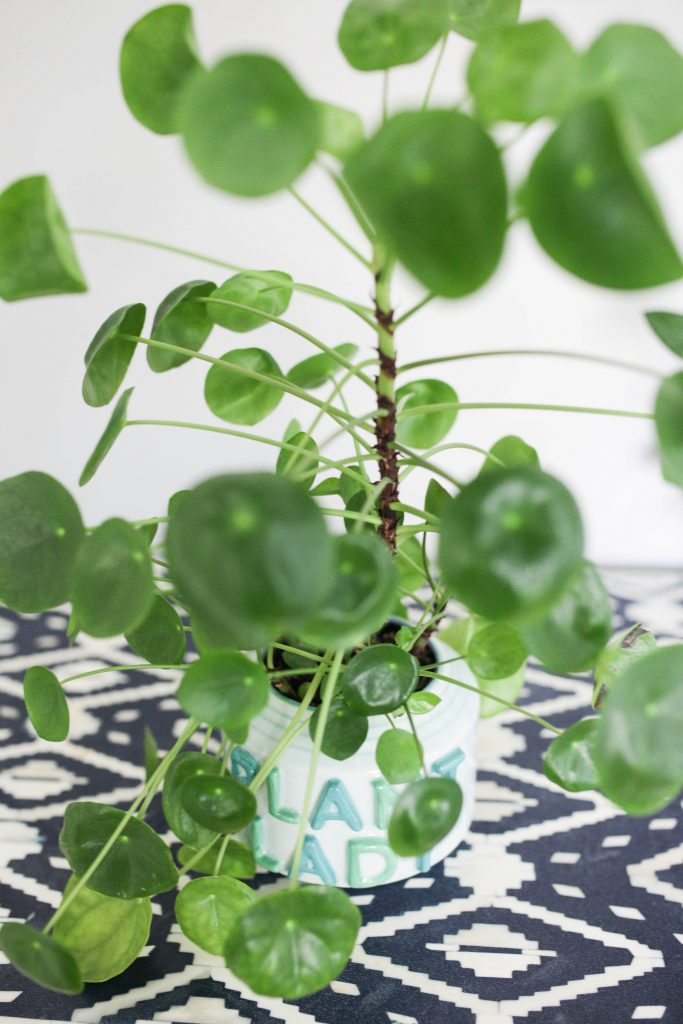 Pilea Peperomioides Plant Care Tips