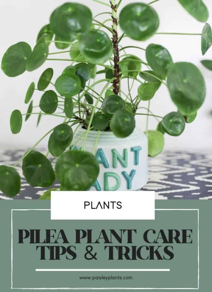 Pilea Peperomioides Plant Basics