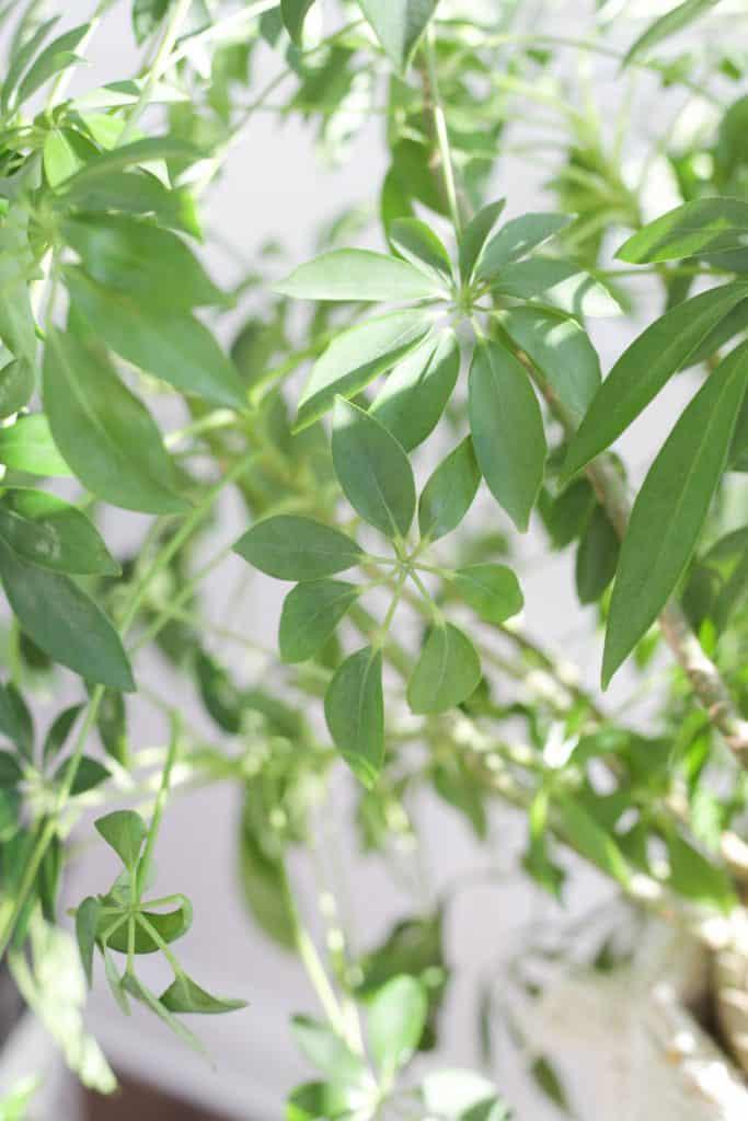 Schefflera Plant Care