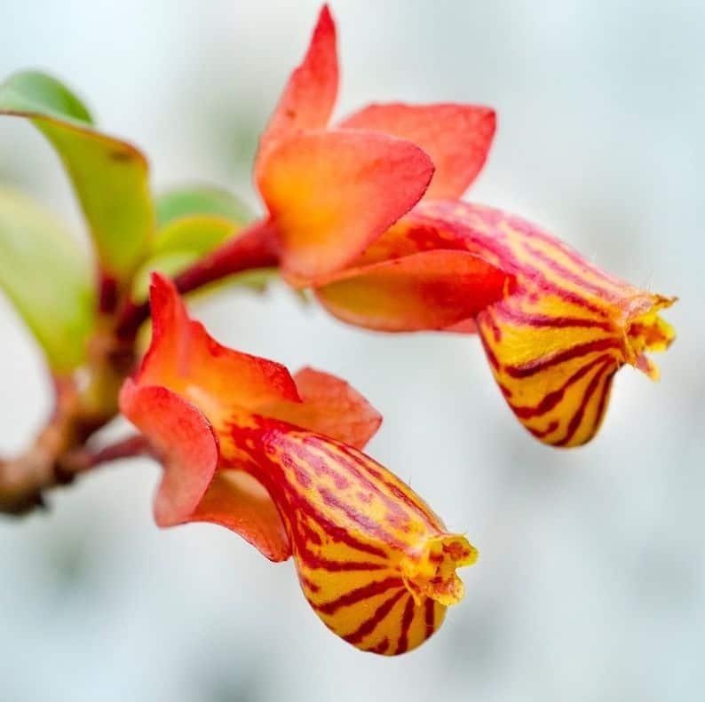 goldfish plant bloom