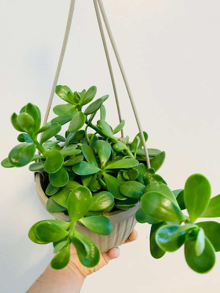 Trailing/Hanging Jade