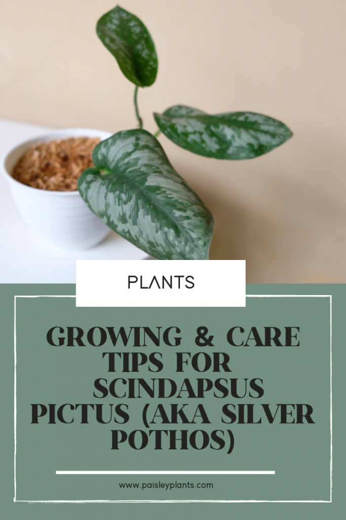 Grow and care tips for Scindapsus Pictus