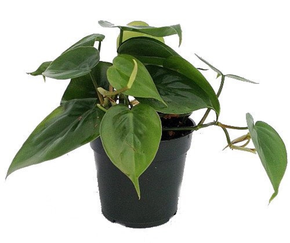Green Heart Leaf Philodendron (Philodendron hederaceum)