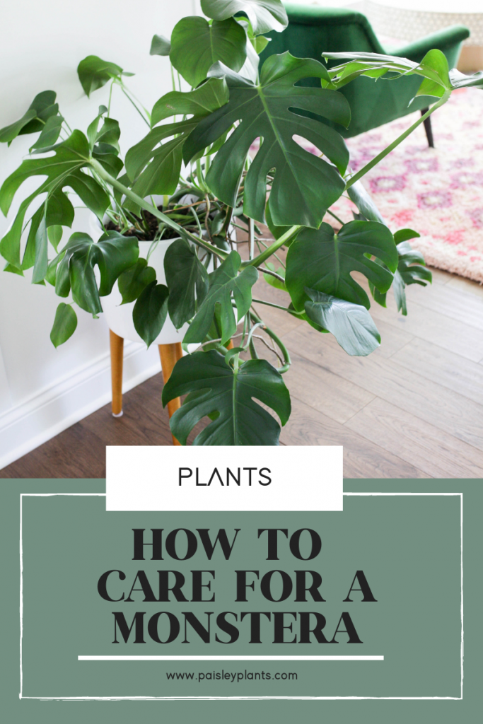 How to Care for a Monstera Deliciosa Plant