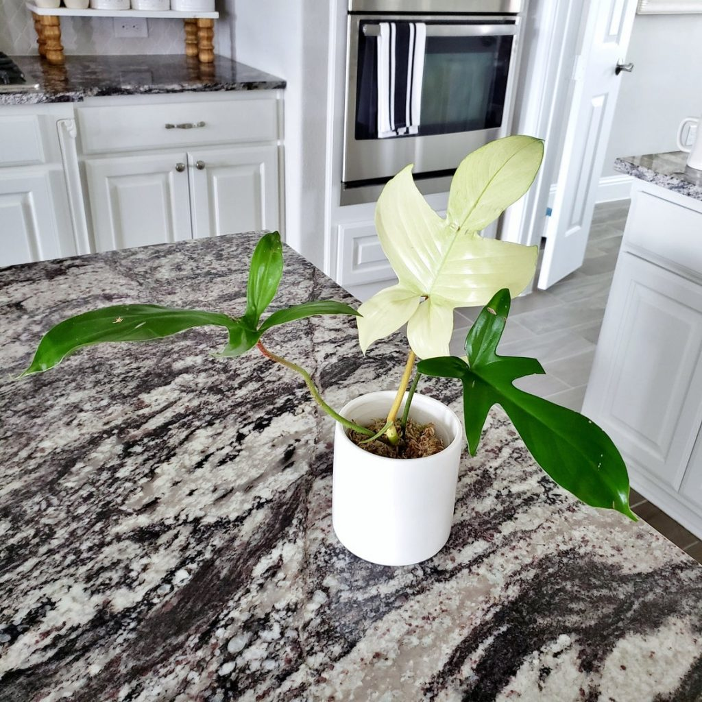Philodendron 'Florida Ghost' (Philodendron pedatum
