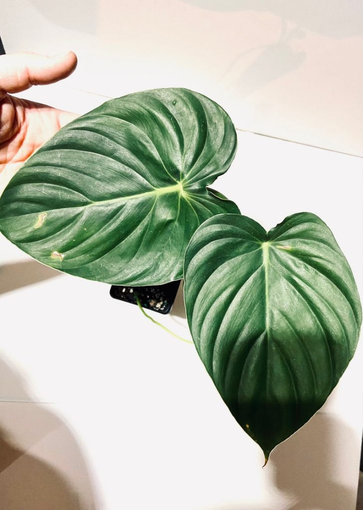 Blotched Philodendron (Philodendron Mamei)