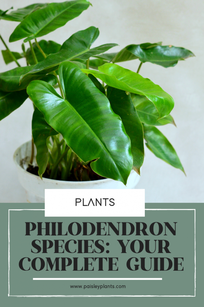18 Philodendron Species: Your Complete Guide