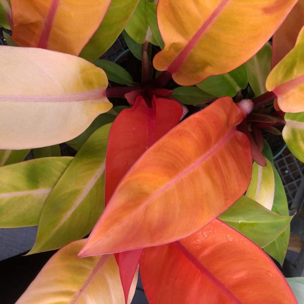 Philodendron prince of orange (philodendron bipennifolium