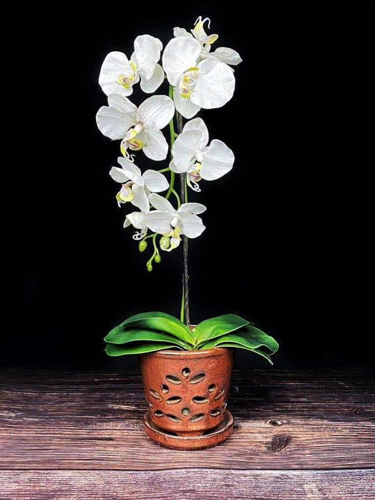 Waikiki Orchid pot