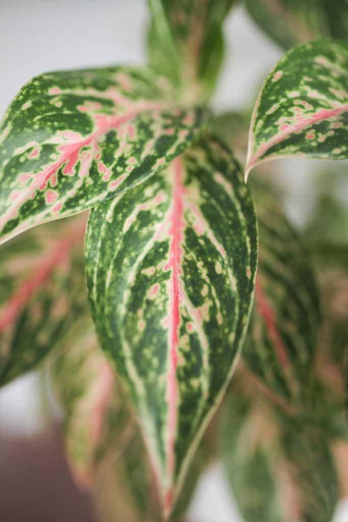 Aglaonema foliage