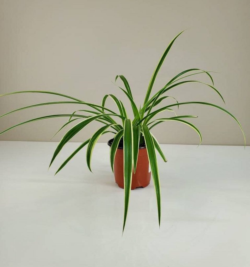 """Chlorophytum Viridescens """"Hawaiian"""""""