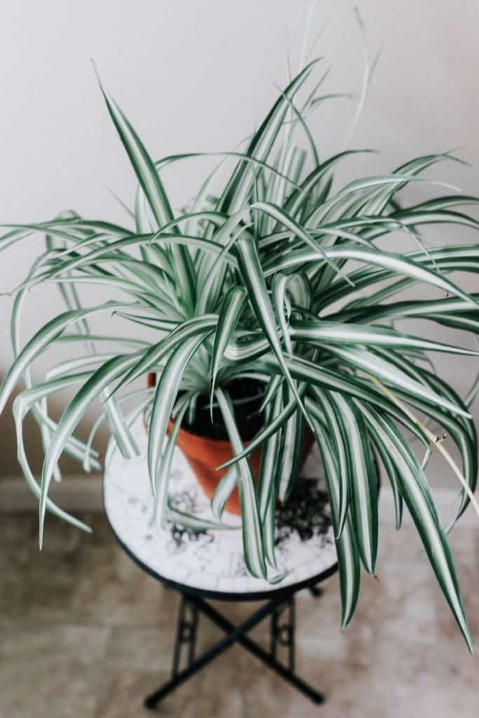 """Chlorophytum Laxum """"Zebra"""""""