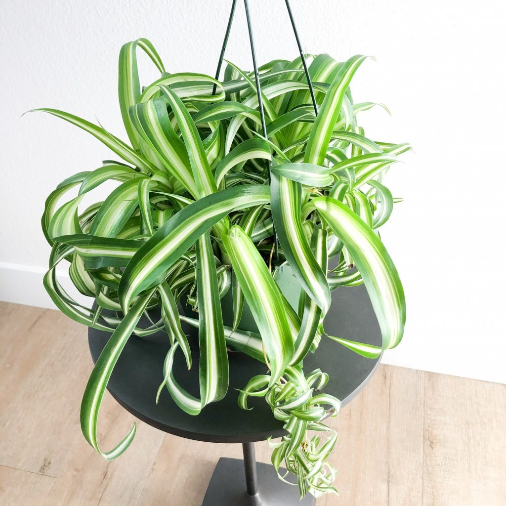 "Chlorophytum Comosum ""Bonnie"""