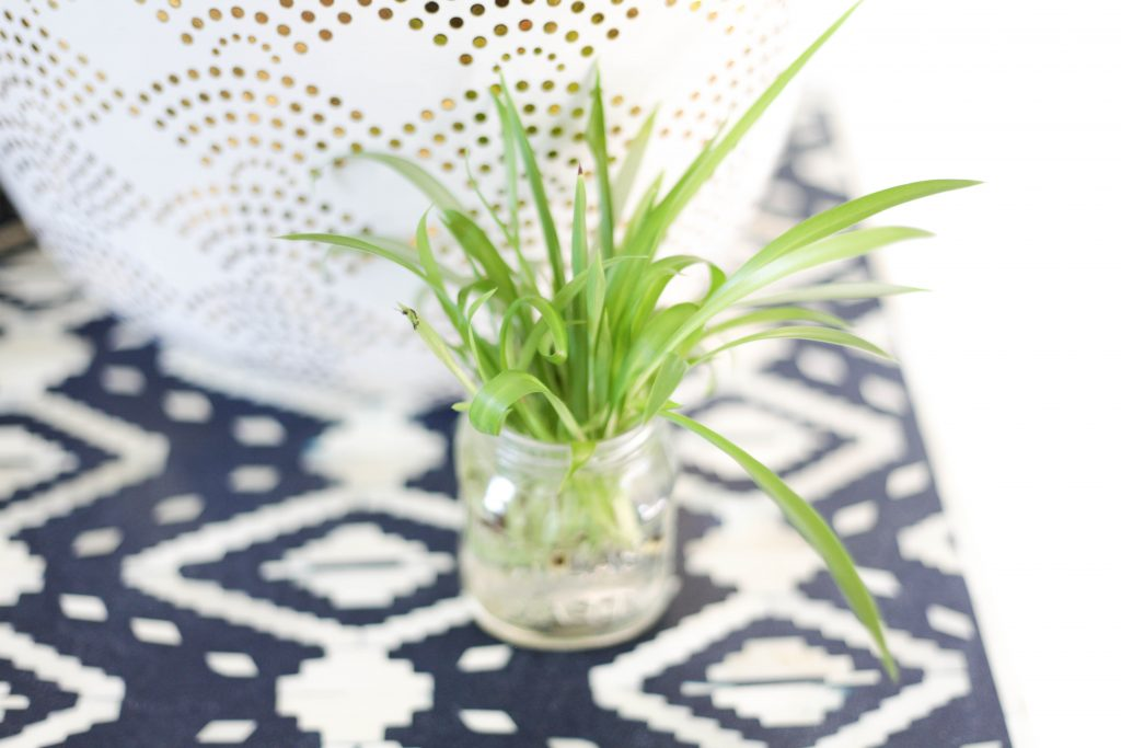 propagated spider plant