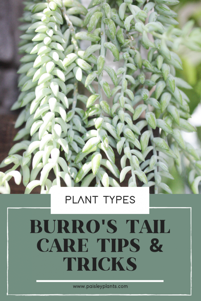 burro's care tips and tricks