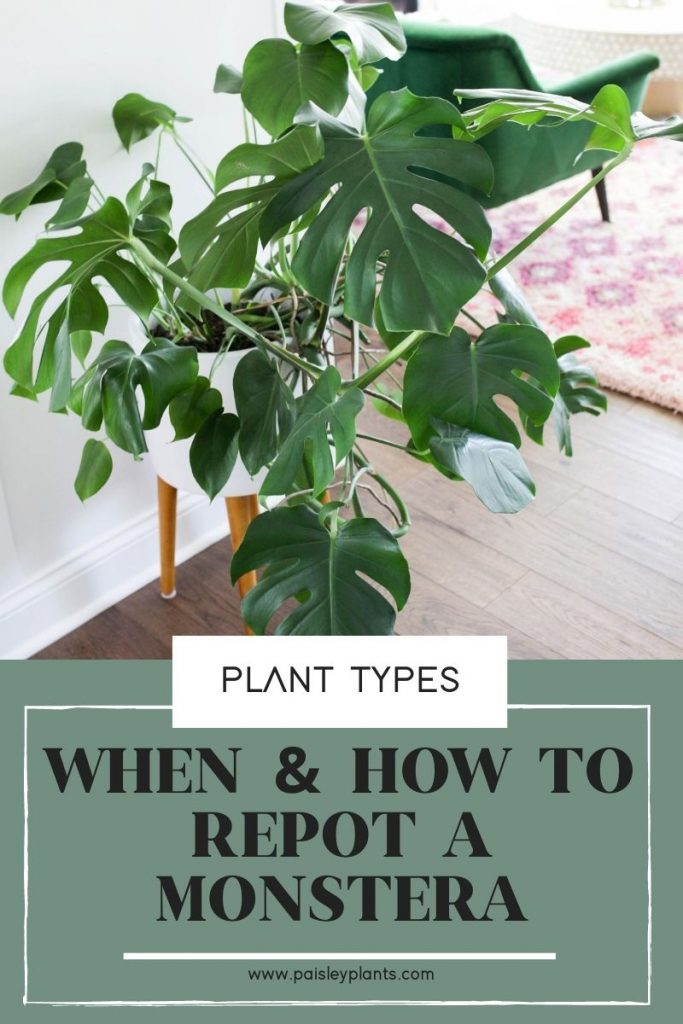 When & How to Repot Monstera