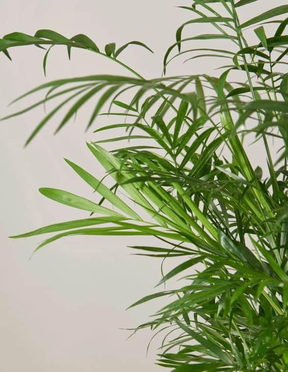 Parlor Palm Leaves