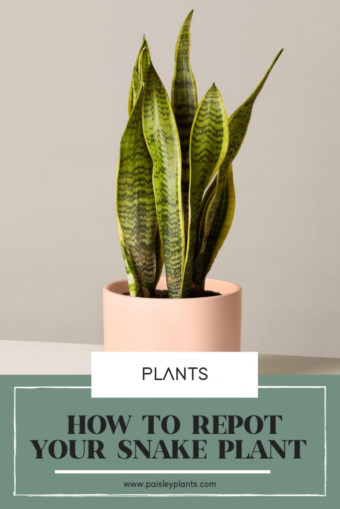 How and when to repot snake plant