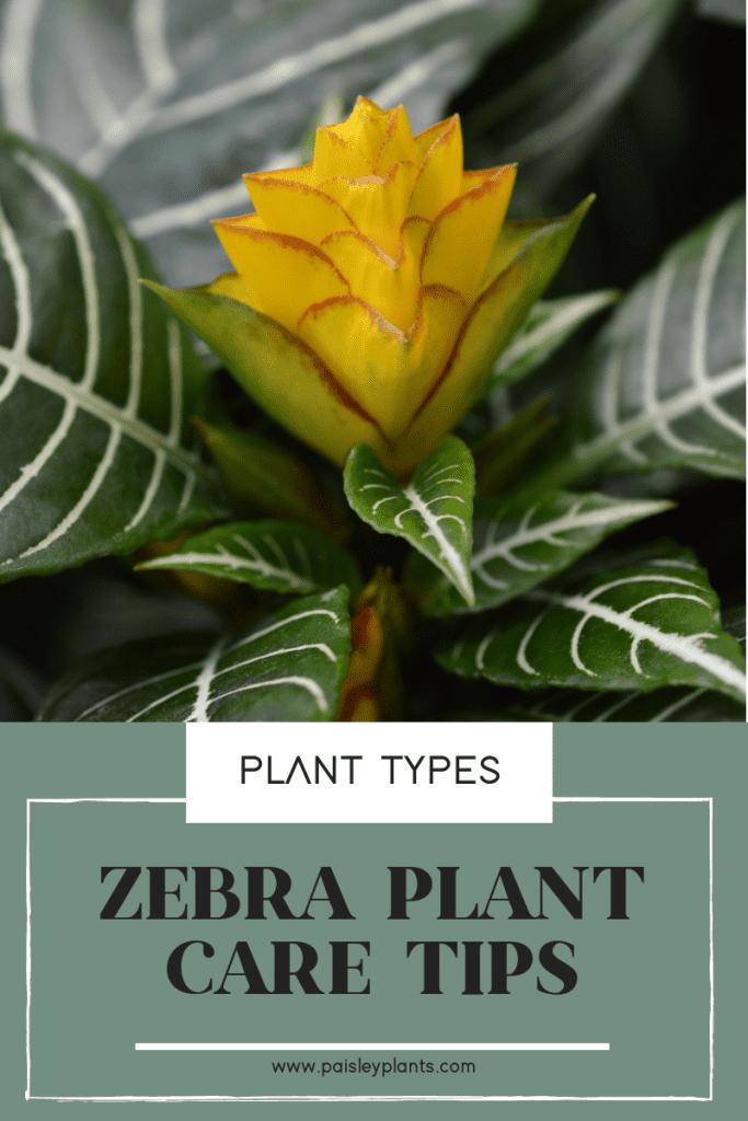 Zebra Plant Care Tips