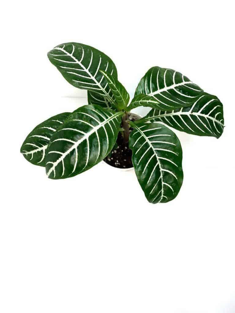 zebra plant leaves